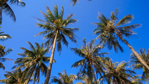 Camera Circles Palms from Downward Sky Bright Sunlight Footage