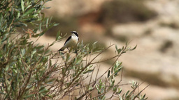 Black eared wheatear stand on a tree Footage