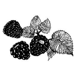Blackberry sketch Vektorgrafik