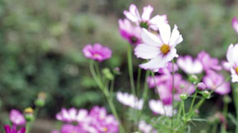 focus in Cosmos flowers Footage