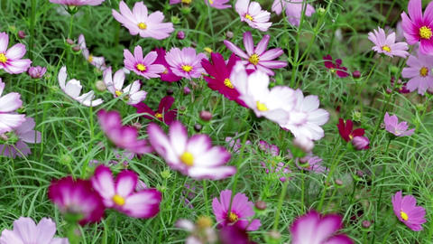 Cosmos flowers in autumn Image