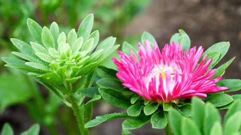 Violet and Pink Aster Flower in the Home Garden Develops on the Wind Footage