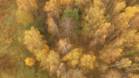 Aerial Shot Of Aspen Trees Changing Colors In Fall Footage