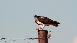 Osprey eating fish Footage