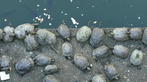 Turtle Eating Next To Koi Pond, 4K stock footage