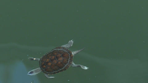 Turtle swimming in pond Footage