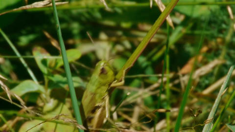 Grasshopper Crawling On Long Wires By Grass In The Garden 5 stock footage