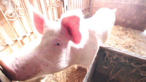 Curious pig smelling camera operator in the farm Footage