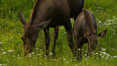 Adult moose and calf grazing in field Live Action
