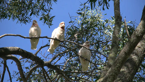 Australia long billed corella birds Live Action