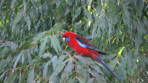 Australia crimson rosella in tree Footage