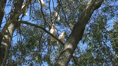 Australia long billed corella birds Footage