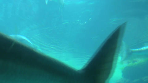 Barracuda and fish swimming near surface Footage