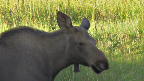 Baby moose face Stock Video Footage