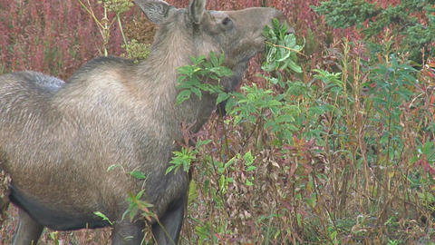 Close up of moose eating Footage
