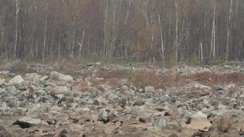 Bald eagle hunting over river Live Action