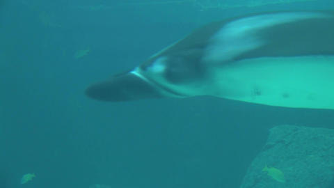 Closeup of manta ray gliding past camera in murky water Footage