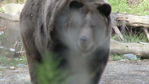 Brown bear in the wild Live Action