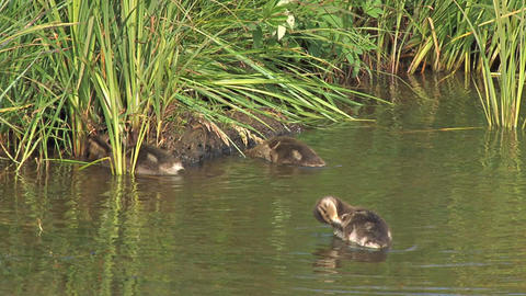 Cute ducklings near riverbank Live Action