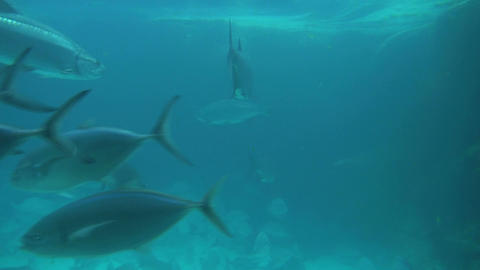 Closeup of fish and shark in murky blue water Footage
