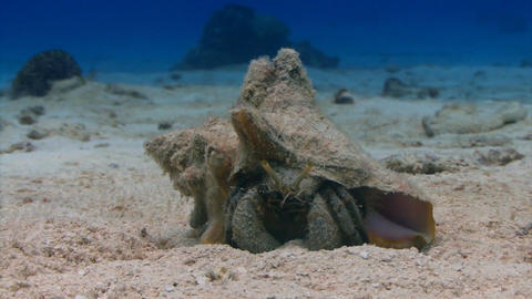 Hermit crab sitting in the sand Live Action