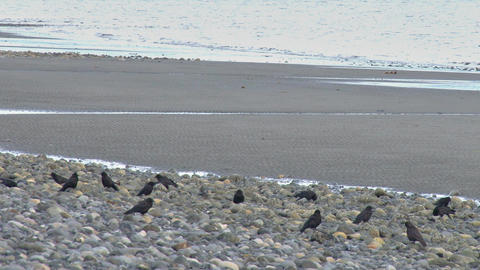 Flock of crows hanging out on rocky beach Footage