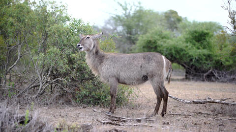 Female antelope waterbuck standing alone in the bush Footage