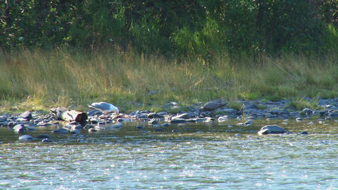 Gulls scavenging salmon along the riverbank Live Action