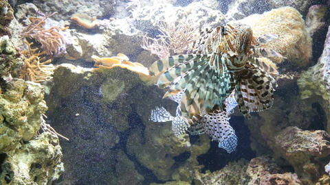 Handheld wide shot of two lionfish swimming in an aquarium Footage