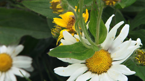 Fly trapped in spider web with daisy in the background Footage