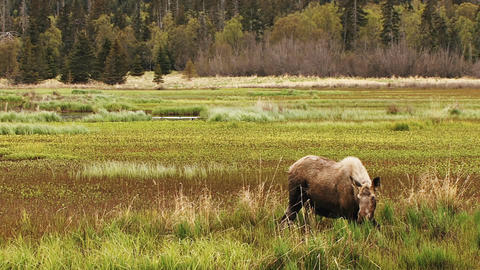 Moose in marshland alone Live Action