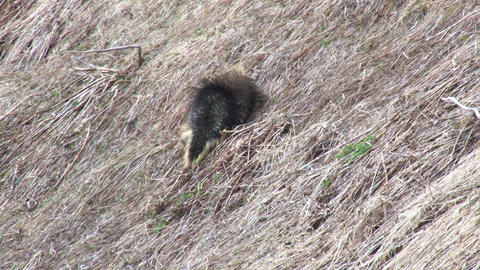 Porcupine waddling up hill Live Action