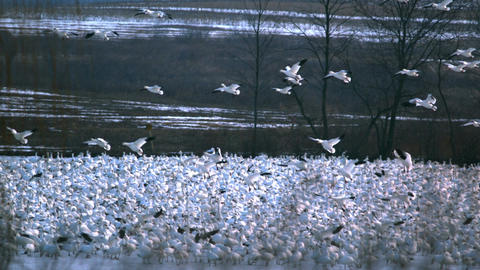 Snow geese flying over flock Footage