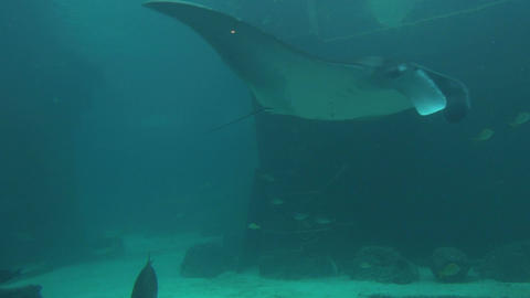 Large stingray gliding by through murky sea Footage