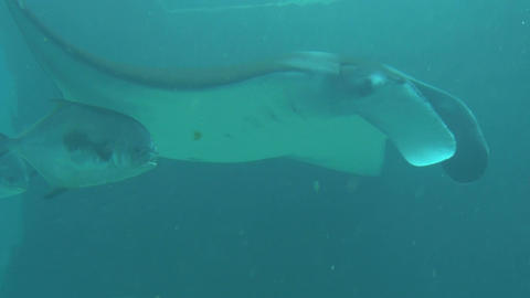 Tracking fishes swimming under manta ray Footage
