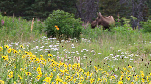 Wild flower bed with moose in the background Footage
