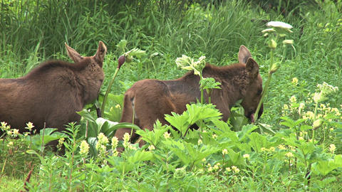 Two moose calves munching in the grass Footage