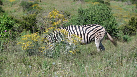 Zebra eating grass in addo elephant Footage