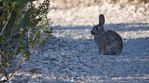 Texas big bend bunny rabbit on path Footage