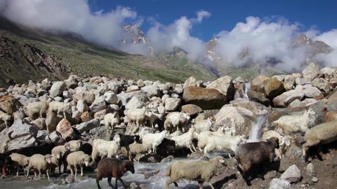 Sheep and goats mountain goats Footage
