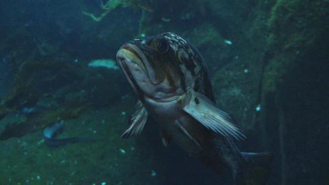 Ugly floating fish in aquarium Footage