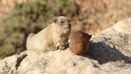 Rock hyrax pups feeding on a rock Footage