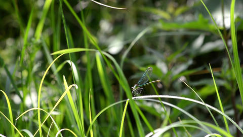 Dragonfly sitting on a blade of grass bent in beating spring wind 1 Footage