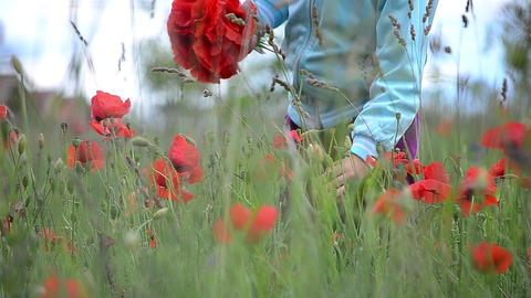 Girl sitting in a field with red poppies and gathers a bouquet for her mother 00 Footage