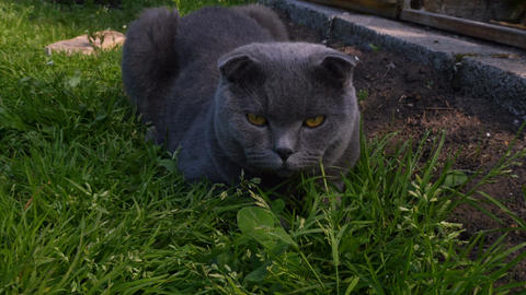 Gray cat lying on the grass and looking at the camera Footage