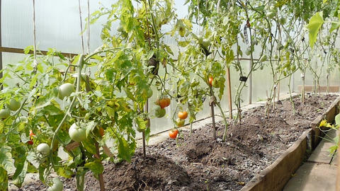 Shrubs with tomatoes stand in the greenhouse Footage