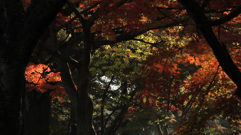 Autumn Leaves / Fall Colors / Morning - Fix 動画素材, ムービー映像素材