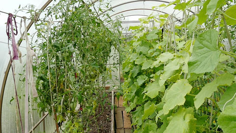 Growing vegetables in the greenhouse Footage