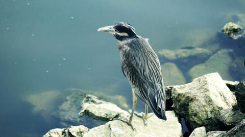 Green heron Stock Video Footage