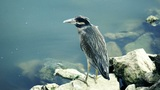 Green heron Footage